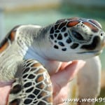 Sea Turtles and the Place You Get to Hold Them! #CCLWinter