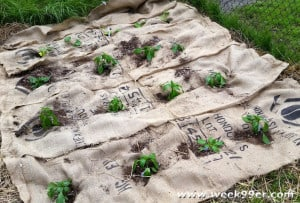 Burlap Bag Weed Protection