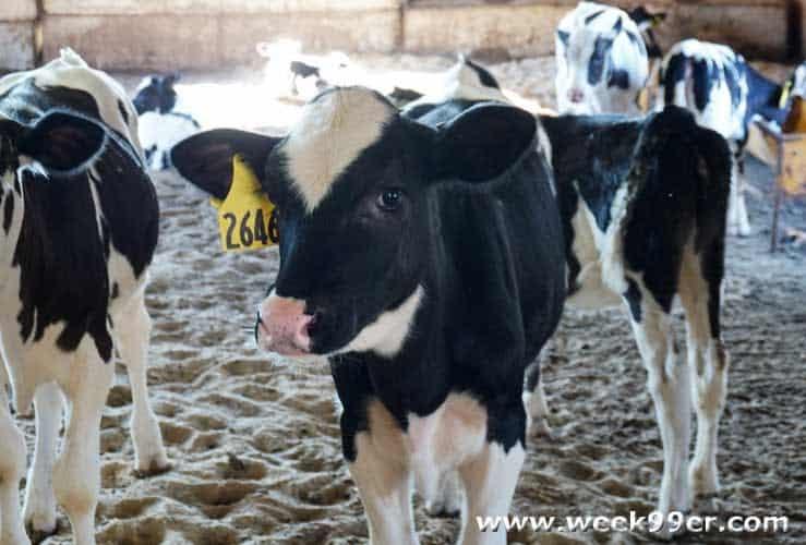 Crandall Dairy Farms Tour