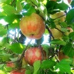 Apples are in Season – Check out How They Get From Farm to Your Table! #michiganapples