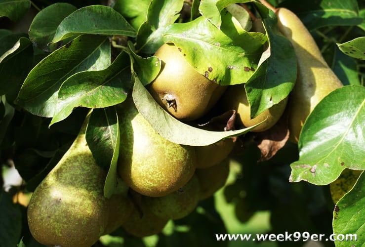 Pear Tree Inn Review