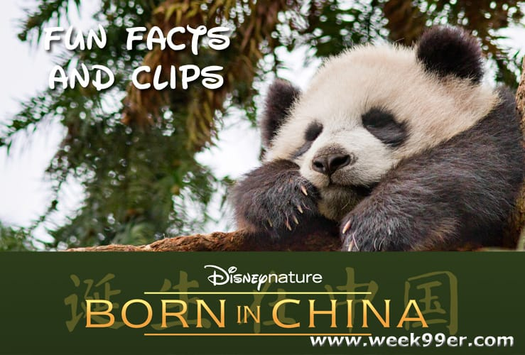 Fun facts about pandas and more from born in china borninchina voltagebd Choice Image