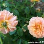 Introducing Proven Winners At Last Roses + Giveaway #ProvenWinners  #gardening #atlastrose
