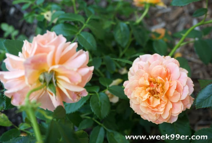 At Last Roses Proven Winners Review