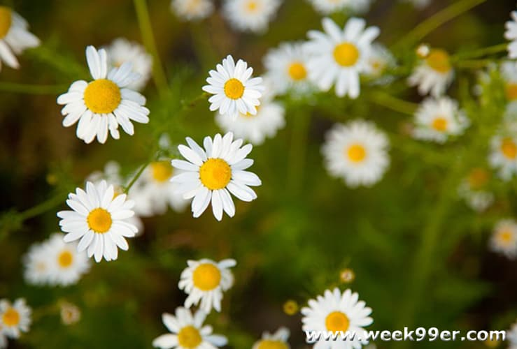 Growing Your own Chamomile and How to Dry It