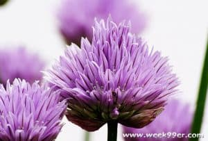 Growing Chives In Your Garden