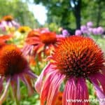 Why to Grow Echinacea and How to Use It