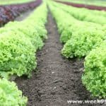 Setting Vegetable Gardening Goals and the Benefits