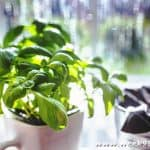 Culinary Herbs Ideal for Small Spaces