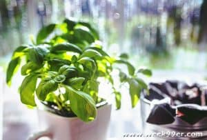 Growing Everyone's Favorite – Basil and Storing More for Later
