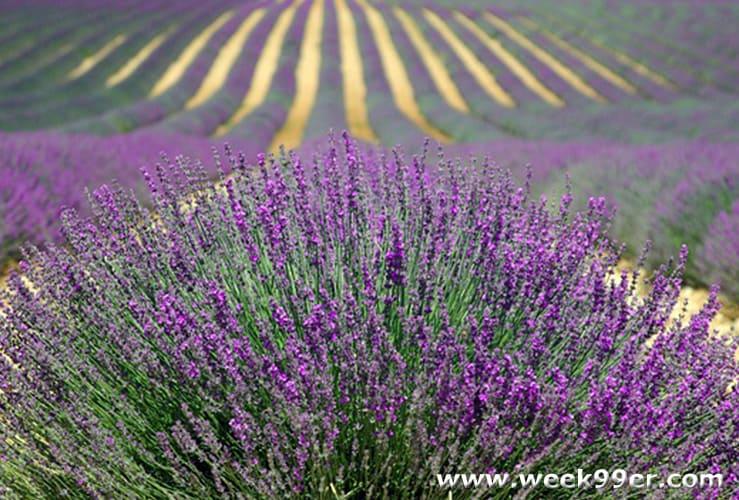 lavendar growing tips