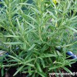 Adding Rosemary to Your Garden for the BBQ and Beyond