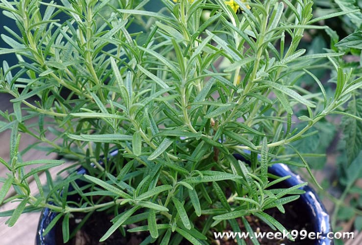 rosemary uses in your garden