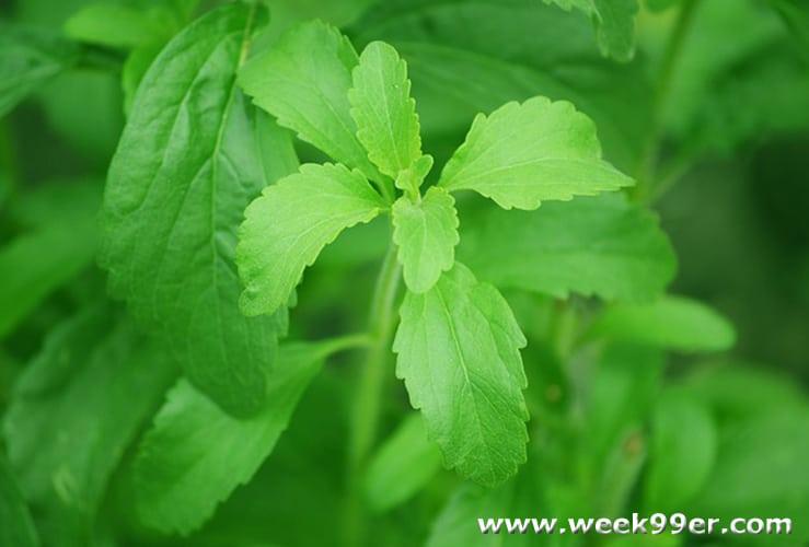 how to grow stevia