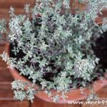 Tips for Growing and Storing Thyme