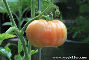 Chemical Free Ways to Keep the Pests away from Your Tomatoes
