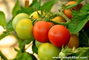increasing your tomato yield