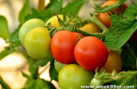 7 Gardening Tips to Improve Your Tomato Yield Without Chemicals