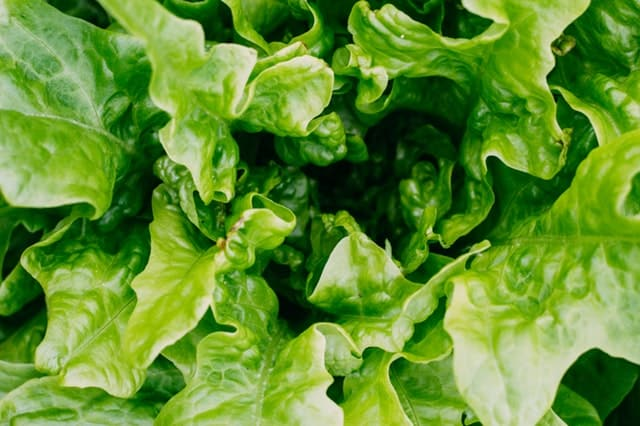 Growing Lettuce in Your Container Garden
