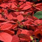 How to Care for Poinsettia Plants