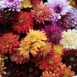 Colorful Fall Perennials To Add to Your Garden