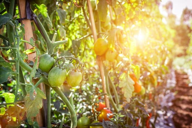How To Choose A Suitable Tomato Seed Variety To Sprout And Grow