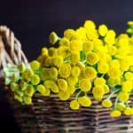 The Benefits of Growing Tansy