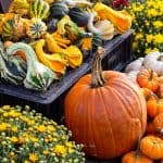 Growing a Large Pumpkin – Is it That Easy?